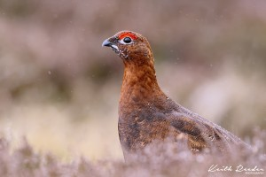 Red grouse Simonside