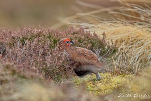 Red grouse weardale