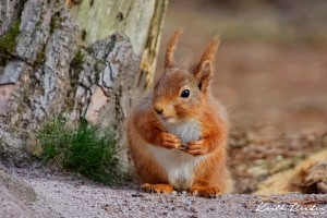 Red squirrel%20Pow%20Hill%20Nature%20Reserve