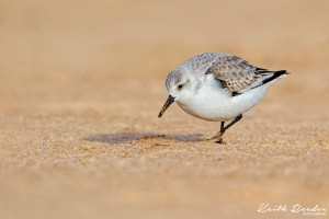 Sanderling2 Druridge
