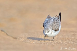Sanderling3a Druridge