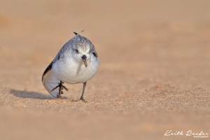 Sanderling4 Druridge