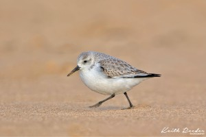Sanderling5 Druridge