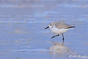 Sanderling Druridge