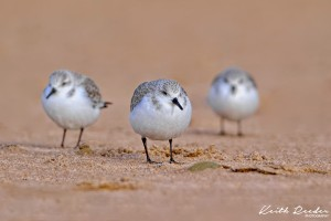 Sanderlings2 Druridge 0