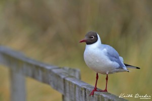 black headed gull titchwell