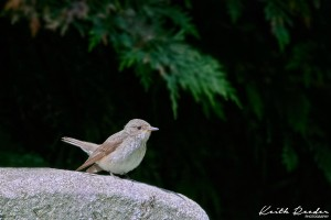 flycatcher 1 0