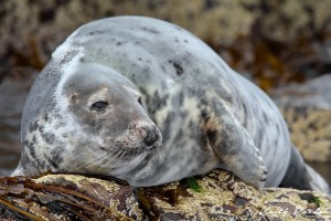 grey seal farnes