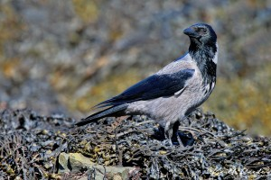 hooded crow mull DPP 2 a